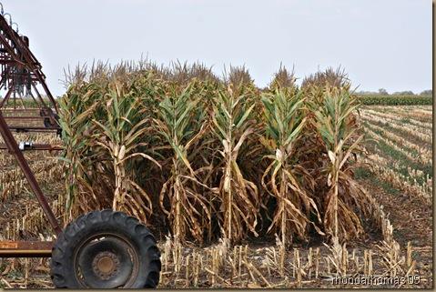 9 corn