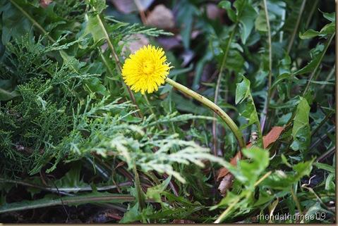 Survivor dandelion vivid copy