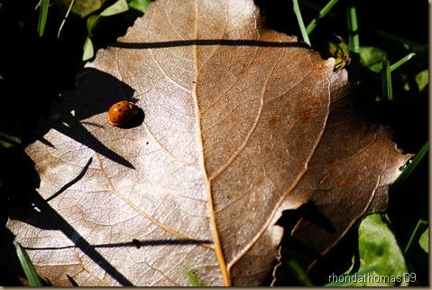 Survivor 031 ladybug vivid