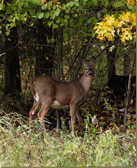 Deer cropped